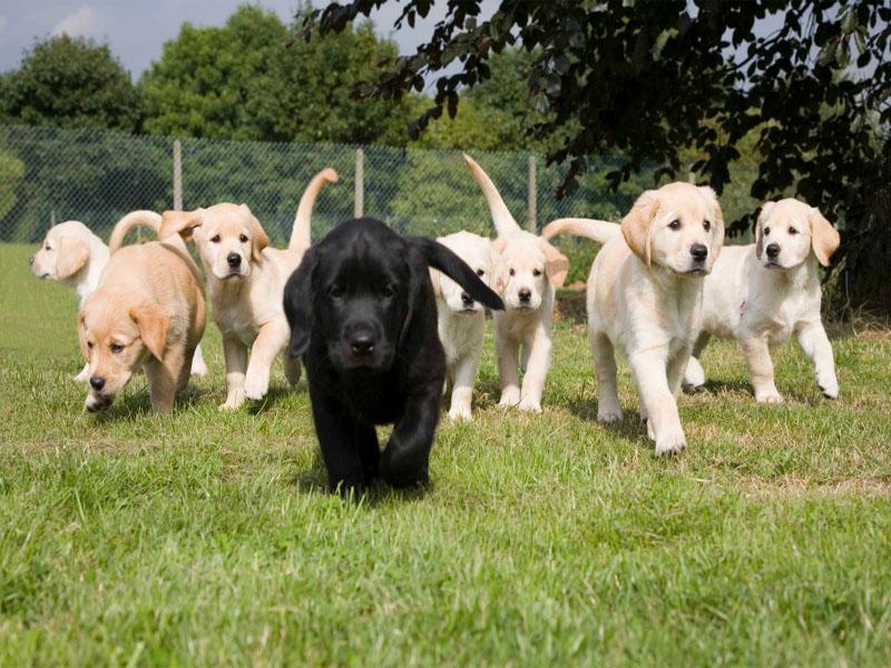 rombongan anjing